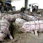 conditon-élevage-intensif-porcs
