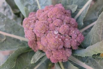 brocili violet